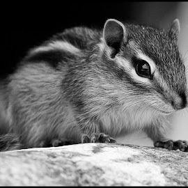 Chipmunk by Dave Lipchen - Black & White Animals ( black and white, chipmunk )