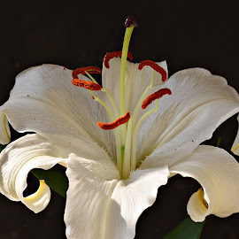 White Lily by Prasanta Das - Flowers Single Flower ( lily, white, close up )