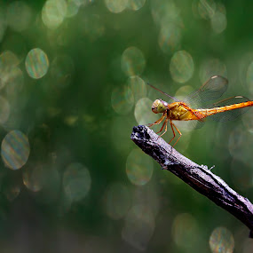 dragonfly with bokeh background by Taufik Taspa - Animals Insects & Spiders ( macro, insect, dragonfly, bokeh, closeup )