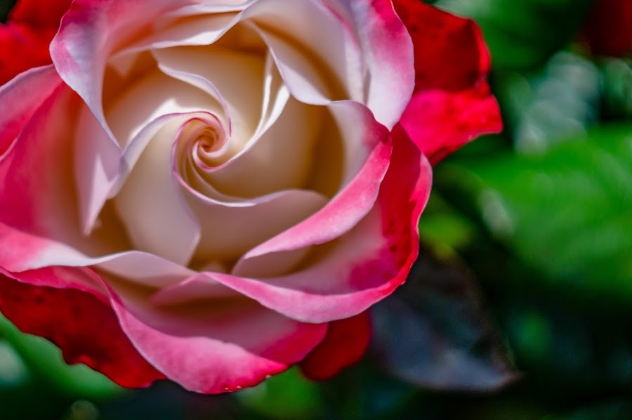 Swirly by Danny Charge - Flowers Single Flower ( red, macro, close up, flowers, nature, up close, belfast, flower,  )