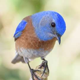 Blue Bird by William Sawtell - Animals Birds ( back yard birds, nature, wildlife, blue bird, birds )