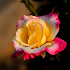 Yellow Pink by Gunbir Singh - Flowers Single Flower ( rose, pink, yellow, gunbir, nikon, multicolor rose )
