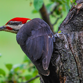 Pileated Woodpecker on Apple Tree  by Christopher Burnett - Animals Birds ( animals, staring, pileated woodpecker, claws, feathers, birds, hunched )