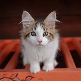 Little Louis by Janice Poole - Animals - Cats Kittens
