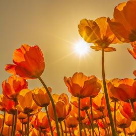 Günlalem by Veli Toluay - Flowers Flower Gardens ( lale bahcesi, lale, çiçek )