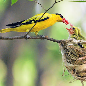 Black-naped Oriole by Young Sung Bae - Animals Birds