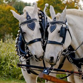 Best Buddies by Wendy Meehan - Animals Horses ( horses )