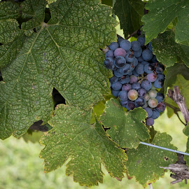 Grapes by Jay Fickess - Nature Up Close Leaves & Grasses