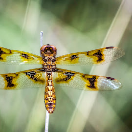 Tiger Dragonfly by Paul Frese - Animals Insects & Spiders ( wild, park, tiger, awesome, bug, insect, dragonfly, garden, woods, close up, flower )