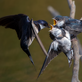 A wee little snack by Richard Wicht - Animals Birds ( babies, wild, african, fauna, avian, south africa, feeding, wildlife, swallowtail, birds, bird, chick, food, swallow, feed, baby, africa, chicks )