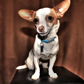 Pepe by Graeme Garton - Animals - Dogs Portraits ( jachuaua, jack russel, pepe, puppy, dog, chihuahua )