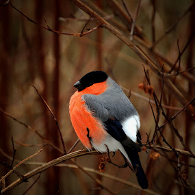 by Bente Agerup - Animals Birds ( red, winter, cold, nature, birds )