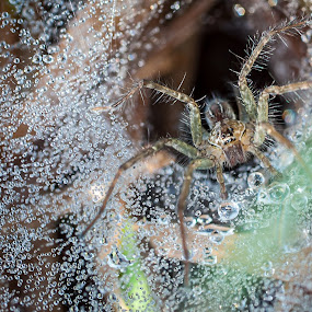 Morning Spider by Xen Xen - Animals Insects & Spiders