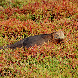 Camouflage by Tomasz Budziak - Animals Reptiles ( reptiles, animals, ecuador, galapagos, camouflage )