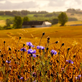 field and flowers by Kim Moeller Kjaer - Landscapes Prairies, Meadows & Fields