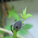 Erthesina Stink Bug Nymph