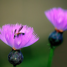 insect and beauty  by Kamal Mallick - Flowers Flower Gardens ( nature, focus, insects, natural, flower photography )