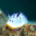 Mexichromis Nudibranch