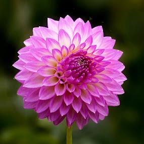 Dahlia 9915 by Raphael RaCcoon - Flowers Single Flower