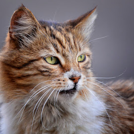 by Ivan Ivanov - Animals - Cats Portraits ( cats, cat, cat eyes, animal )