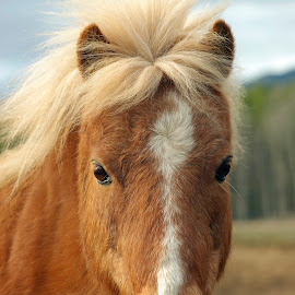 Squeaker by Giselle Pierce - Animals Horses ( miniature horse, face, mane and tail, horse, head, gelding, nose )