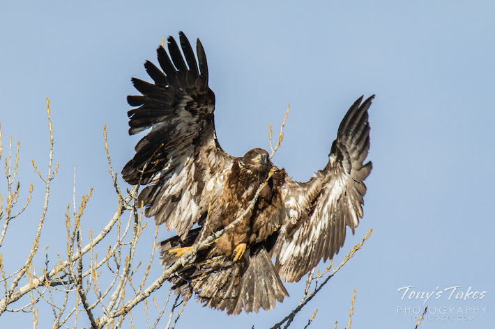 A juvenile Bald Eagle, seemingly startled by the photography, leaps into the air. (© Tony's Takes)