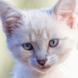 Kitten by Dave Lipchen - Animals - Cats Kittens ( kitten )