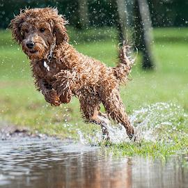 Splash by Michael  M Sweeney - Animals - Dogs Running ( play, michael m sweeney, run, dog )