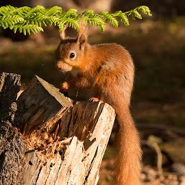 by David Wilson - Animals Other Mammals ( mammals, red, tree stump, woodland, squirrel )