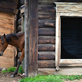 It´s my house. by Marcel Cintalan - Animals Horses ( russia, village, horse, brown, baykal )