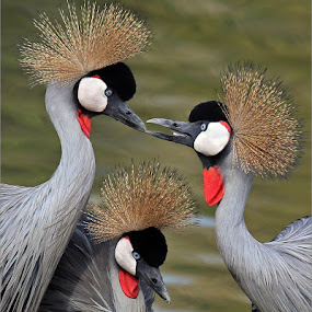 Crowned cranes by Johann Harmse - Animals Birds ( nature, crowned cranes, bird, cranes, birds,  )