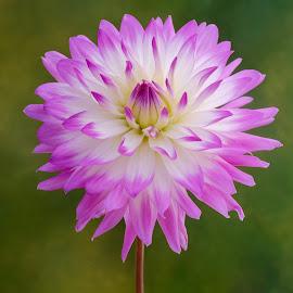 Light purple Dahlia by Jim Downey - Flowers Single Flower