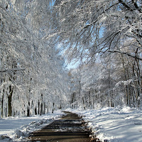 by Siniša Almaši - Nature Up Close Trees & Bushes ( up close, natural light, white, forest, road, landscape, depth, contrast, nature, tree, snow, path, trees, view, light )