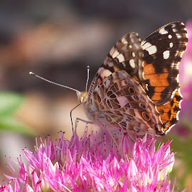 Monarch by Paul Hamilton - Animals Insects & Spiders ( pink flower, orange, butterfly, flower garden, bugs, nature, backyard, insects, landscape, photography, flower, kentucky,  )