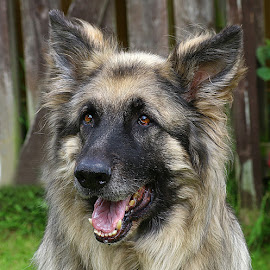 Happy Chappy by Chrissie Barrow - Animals - Dogs Portraits ( nose, tan, fur, tongue, black, portrait, eyes, german shepherd dog, ears, mouth, teeth, silver, dog, pet, long haired, male )