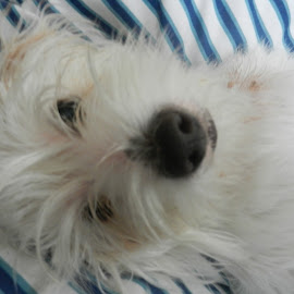 Zebadee  by Angie Keverne - Animals - Dogs Puppies ( hairy, jack russel, puppy, cute, dog )