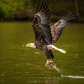 Lunch In Claw by Roy Walter - Animals Birds ( animals, bald eagler, fish, wildlife, virginia, birds, river )