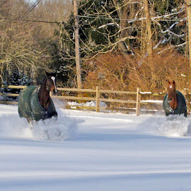 Snow Brings Out The Kid In All Of Us by Wendy Meehan - Animals Horses ( horses,  )