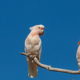 Major mitchell parrots by Cora Lea - Animals Birds