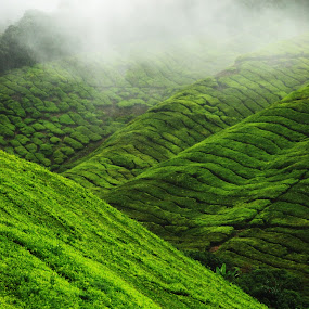 tea farm hill by Woo Yuen Foo - Landscapes Mountains & Hills