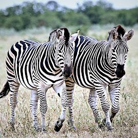 Zebra Sisters by Pieter J de Villiers - Animals Other
