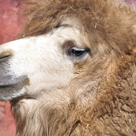 Camel 1 by Anita Berghoef - Animals Other Mammals ( animal portrait, up close, camel, zoo, nature, close up, mammal, animal )