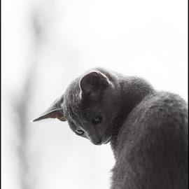 On the window by Pauli Araneva - Animals - Cats Kittens ( kitten, cat, russianblue, kitty )