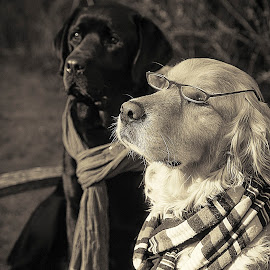 Beau and Pascal at University by CLINT HUDSON - Animals - Dogs Portraits ( dogs, labrador, golden retriever )