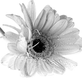 by Cal Brown - Black & White Flowers & Plants ( single flower, black and white, close up, flower, black )