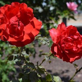 Beauty by Heather Walton - Novices Only Flowers & Plants ( rose, red, bloom, spring, scent )