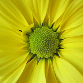 Daisy by Stlucia Trumpeter - Nature Up Close Flowers - 2011-2013 ( nature, daisy, beautiful nature, flower, yellow daisy )