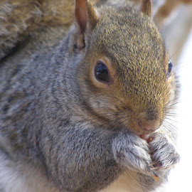 Yummy by Debra Griffin - Animals Other ( wild, winter, cute, hungry, squirrel )