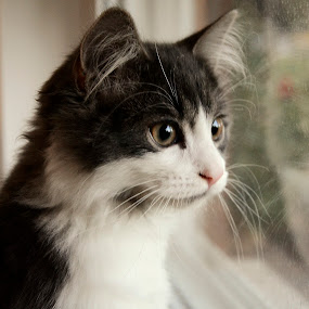 Reflection by Lacy Gillott - Animals - Cats Portraits ( reflection, kitten, cat, window, beautiful, adorable, beauty, cute )