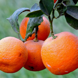 MINI ORANGES by SANGEETA MENA  - Nature Up Close Gardens & Produce